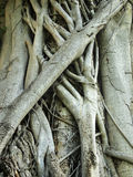 Closeup of banyan tree. Trunk roots with carvings Stock Images