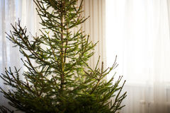 Closeup of a bare christmas spruce tree at home without decorations Royalty Free Stock Photos