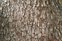 Closeup of the bark of Hairy Keruing tree with rough texture. royalty free stock photos