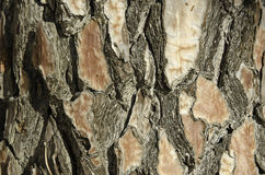 Closeup of the bark of a pine Royalty Free Stock Images