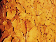 Closeup of the Bark of a Quiver Tree during Sunset Stock Image