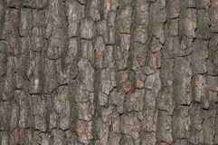 Closeup of bark tree  texture. Closeup of texture from a big bark tree Royalty Free Stock Photography