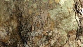 Closeup Of Bark On Tree Trunk Tilt Up stock video