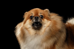 Closeup Barking Red Pomeranian Spitz Dog, Black isolated Background Royalty Free Stock Photos