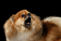 Closeup Barking Red Pomeranian Spitz Dog, Black isolated Background Royalty Free Stock Image