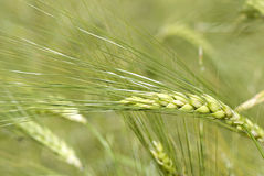 Closeup of barley. Used as fodder crop and for malting in beer and whiskey production Royalty Free Stock Image