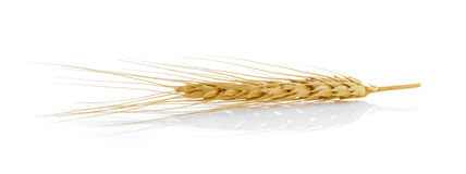 Closeup of a barley ear on  white background Stock Images