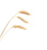 Closeup of a barley ears Stock Images