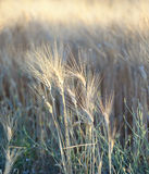 Closeup of barley Royalty Free Stock Photos