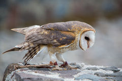 Closeup of Barn Owl Royalty Free Stock Photography