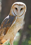Closeup of Barn Owl Raptor Stock Photography