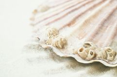 Scallop oceanic details. Stock Photography