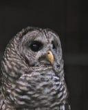 Closeup Barred owl Royalty Free Stock Photography