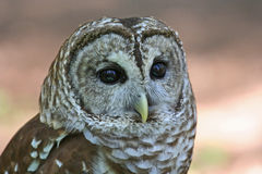Closeup of a Barred Owl Raptor Royalty Free Stock Image