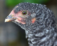 Closeup of Barred Rock Chick Royalty Free Stock Photo