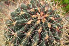 Closeup of a Barrel Cactus Royalty Free Stock Photography
