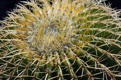 Closeup of a Barrel Cactus Royalty Free Stock Image