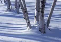 Birch trunks in the snow Royalty Free Stock Image