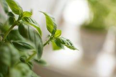 Closeup of a basil herb royalty free stock photo