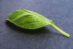 Closeup of basil leaves on a black Stock Images