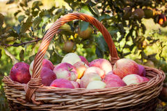 Closeup of basket with apples Stock Image