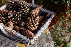 Closeup of basket of fir cones with red cotoneaster berries. Closeup of basket of pine cones on a stone bench with red cotoneaster berries behind stock image