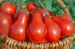 Fresh ripe red pear tomatoes in a basket on the garden. Closeup of basket with fresh red pear tomatoes. Fresh tomato in a basket on a green background Royalty Free Stock Photo