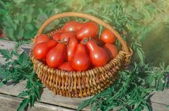 Fresh ripe red pear tomatoes in a basket on the garden. Closeup of basket with fresh red pear tomatoes. Freshly harvested tomatoes in basket. Large basket full Royalty Free Stock Photography