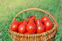 Fresh ripe red pear tomatoes in a basket on the garden. Closeup of basket with fresh red pear tomatoes. Freshly harvested tomatoes in basket. Red tomatoes in Royalty Free Stock Photos