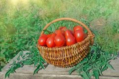 Fresh ripe red pear tomatoes in a basket on the garden. Closeup of basket with fresh red pear tomatoes. Freshly harvested tomatoes in basket. Red tomatoes in Royalty Free Stock Images