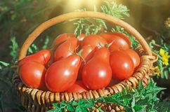 Fresh ripe red Red pear tomatoes in a basket on the garden. Closeup of basket with fresh red tomatoes. Freshly harvested tomatoes in basket. Red pear tomatoes in Stock Photography