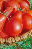 Fresh ripe red Red pear tomatoes in a basket on the garden. Closeup of basket with fresh red tomatoes. Freshly harvested tomatoes in basket. Red pear tomatoes in Royalty Free Stock Image