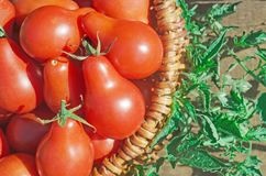 Fresh ripe red Red pear tomatoes in a basket on the garden. Closeup of basket with fresh red tomatoes. Freshly harvested tomatoes in basket. Red pear tomatoes in Royalty Free Stock Photography