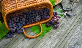 Closeup basket with grapes beside secateurs on vintage rustic wooden table. Wine making. Background royalty free stock photography