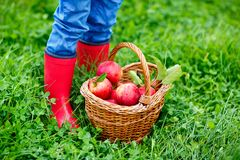 Closeup of basket with red apples and rubber boots on little kid, boy or girl on organic farm, autumn outdoors. Toddler. Child having fun with helping and stock image