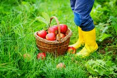 Closeup of basket with red apples and rubber boots on little kid, boy or girl on organic farm, autumn outdoors. Toddler. Child having fun with helping and royalty free stock image