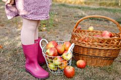 Closeup of basket with red apples and rubber boots on little kid, boy or girl on organic farm, autumn outdoors. Toddler. Child having fun with helping and stock photos