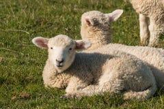Closeup of basking lambs Royalty Free Stock Photography
