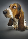 Closeup Of Basset Hound Sitting Stock Photo