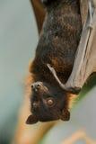 Closeup of a Bat. Closeup of a Flying Fox, a huge bat Stock Image