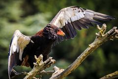 Closeup of a bateleur Terathopius ecaudatus eagle, bird of prey, perched on a branch with open wings. National emblem of Zimbabwe stock photography