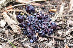 Closeup of bear scat full of blueberries.  stock photo