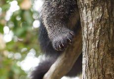 Bearcat`s paw Royalty Free Stock Image