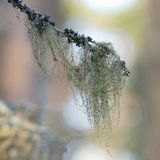 Closeup of beard moss or Usnea filipendula Stock Photos