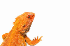 Closeup bearded dragon (pogona vitticeps) Royalty Free Stock Photos