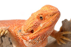 Closeup bearded dragon (pogona vitticeps) Royalty Free Stock Images