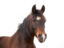 Closeup of a beautiful Arabian horse Royalty Free Stock Photos