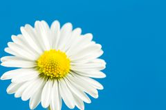 Beautiful bellis perennis flower isolated on blue background. Closeup of a beautiful bellis perennis flower isolated on blue background Stock Image