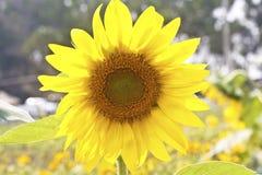 Closeup beautiful big sunflower Stock Photos