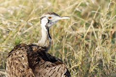 Closeup of beautiful Black-Bellied Bustard Royalty Free Stock Image